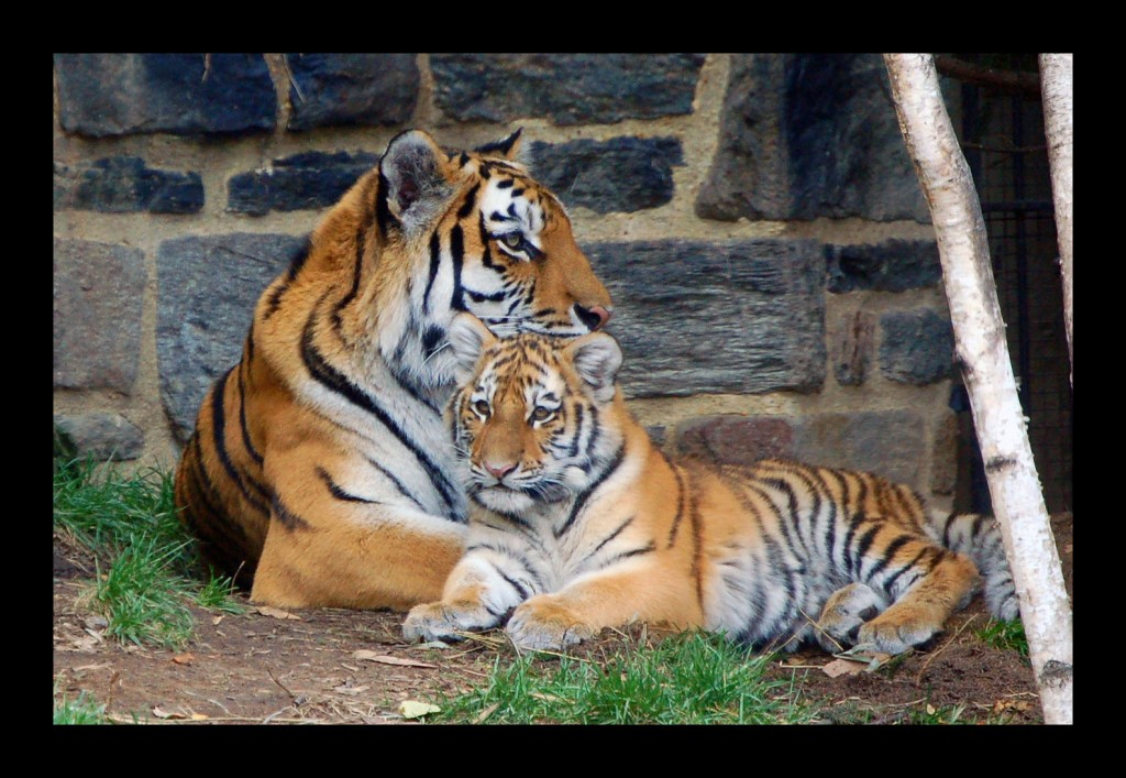 Essay on tiger extinction in india